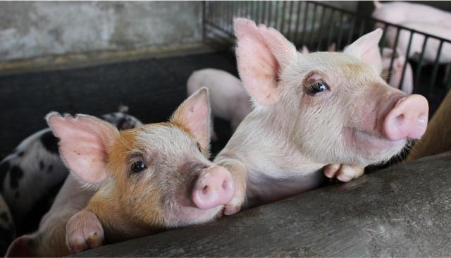 河北省保定市非洲区发生徐水猪瘟疫情,豆瓣农农业将牛腩怎么做图片