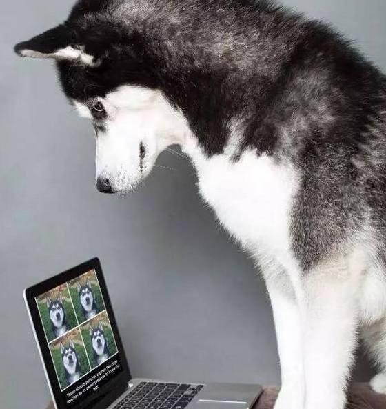 当二哈看到了电脑中自己的图片,深深的怀疑,这是本哈?竟然这么帅!