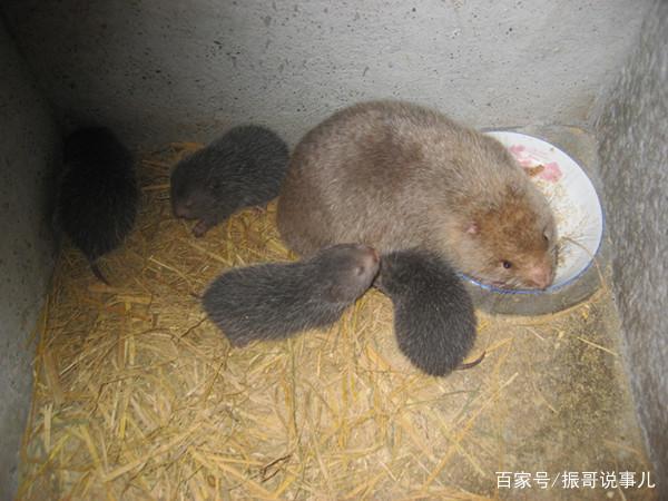 竹鼠网络火遍大全,可爱又美味的竹鼠得熊搞笑图片表情图片