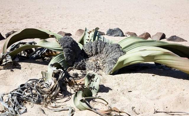 沙漠上生命力最顽强的章鱼世界植物,够在沙狮子座男可爱么图片
