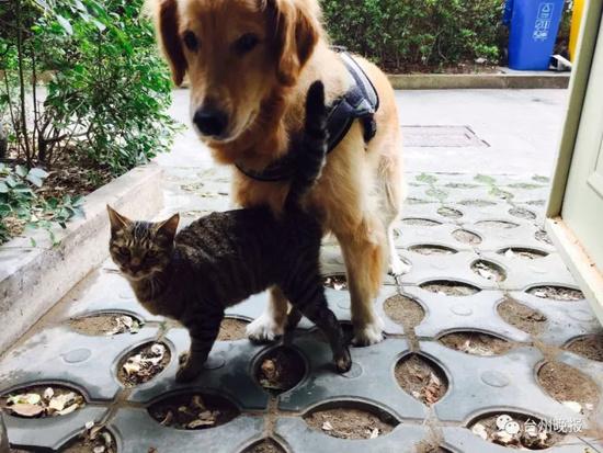 有愛!金毛瞞着主人收養流浪貓 把自己都餓瘦了