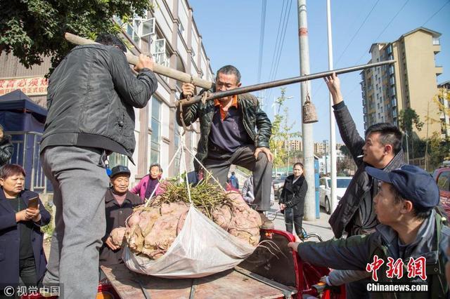 四川老農種出238斤「紅薯王」