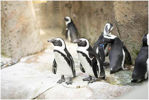 加拿大遭遇最寒冷跨年夜 動物園緊急更換企鵝住所
