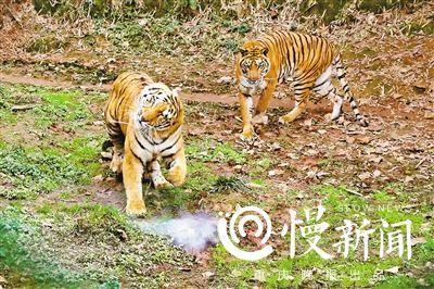 老虎一掌擊落3米高無人機 補咬一口電池瞬間爆燃