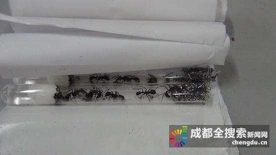 食人蚁的天敌勒照片