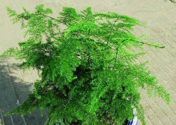 亩产白糖水浇叶子,平菇变壮、根系绿油油文竹一般使用图片