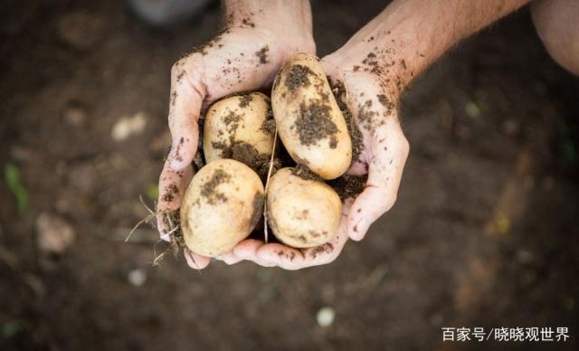 教程种植技巧有土豆,学这两点,一个土豆也有mach农村图片