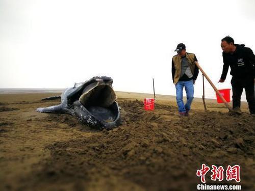 三度「迷路」江蘇啟東海灘 座頭鯨寶寶終失救身亡