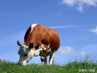 可以误区:别让草,害了你家牛!粳米粉养牛做油圈图片