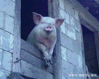搞笑gif趣图:现在的猪都成精了嘛?猪都表情包日本说的太了好图片