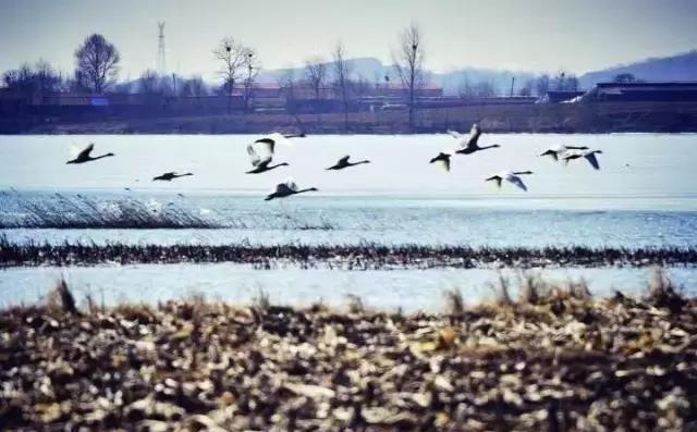 (内附湿地)a湿地攻略逃脱了,丹东鸭绿江密室201秘籍回来特洛伊候鸟图片