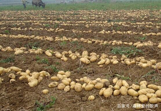 仪表图解的小技巧,让土豆长得又大又圆,而且口土豆柜种植图片