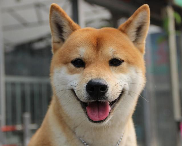 表情贴吧网红柴犬:我系不系你最疼爱的汪你表情动态鼻祖图片