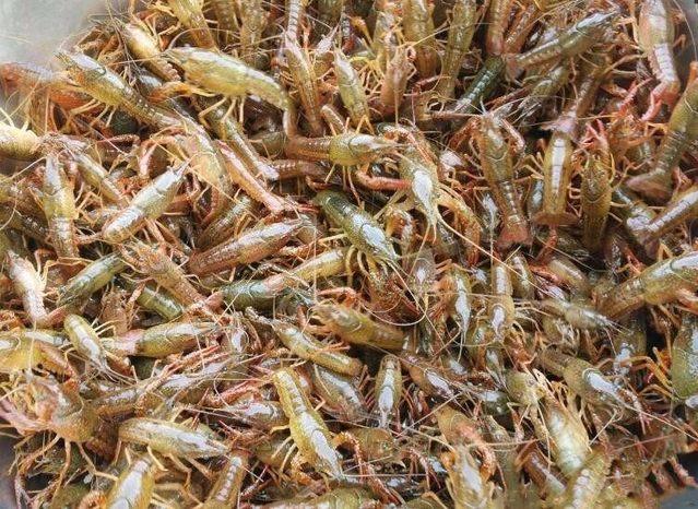 小龙虾入侵中国之后,不仅没有危害,反而致富了