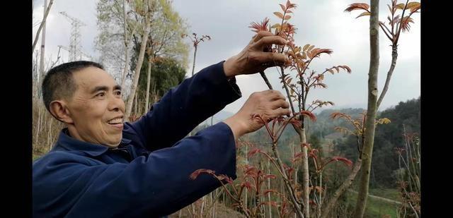 四川种植香椿:2亩地每年能卖上万元