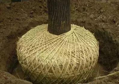 带土球苗木移植技术要点归纳,细节决定成败!