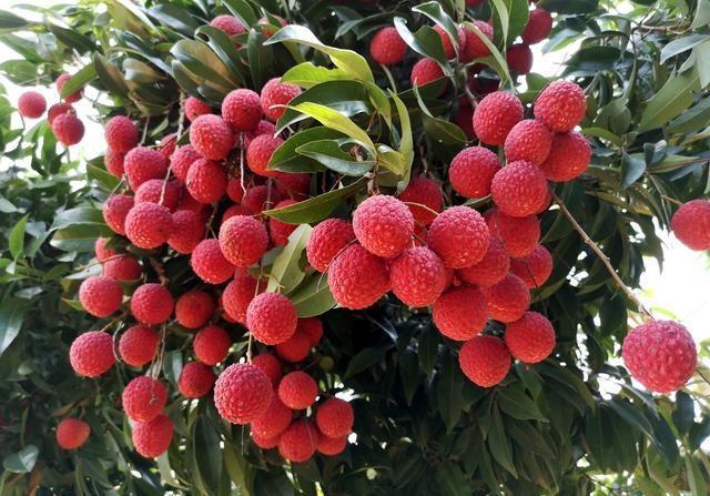 荔枝故事:中国最早世界第一的水果分类荔枝专