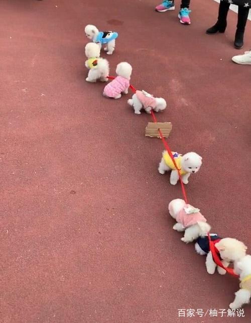 8只小奶狗分成两队拔河比赛,场面失控乱成一锅
