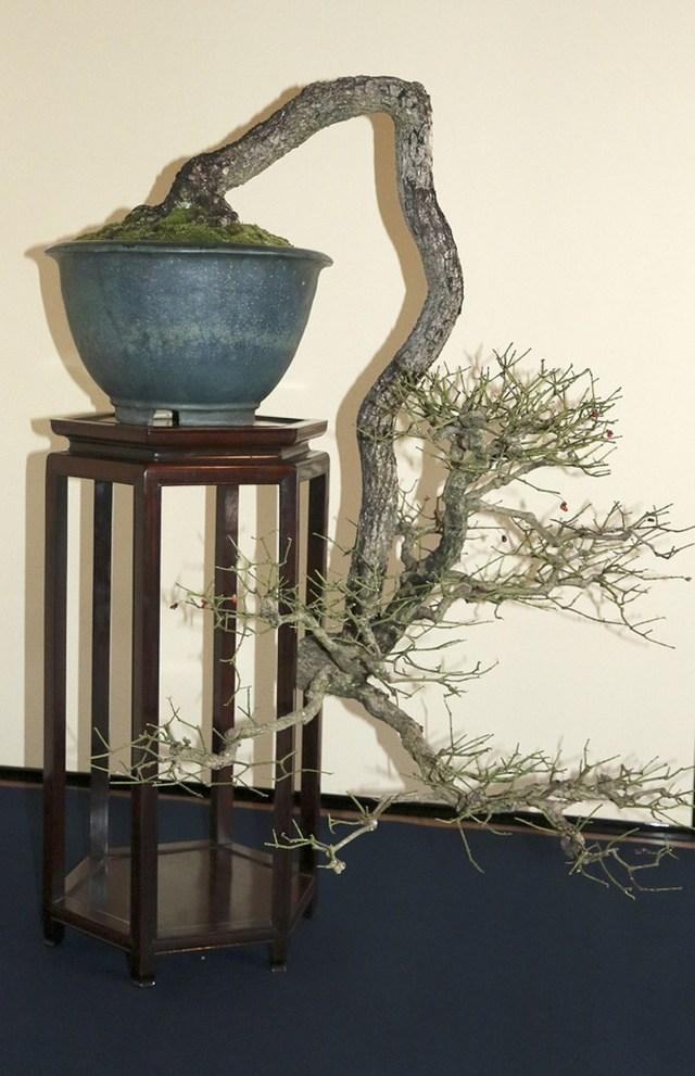 盆栽欣赏:宛若蛟龙,游刃有余,你不得不欣赏的盆