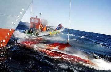 日本擬花費1億日元升級捕鯨船 南極捕鯨仍將持續