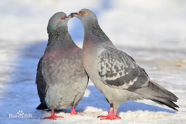 善于飞行、小巧玲珑的鸽子,象征和平、美好、