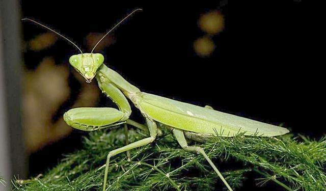 你相信吗?螳螂竟是捕蛇高手