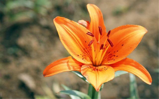百合花象征着百年好合,梵蒂冈把它做为国花!百