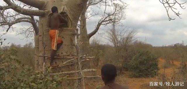 能存水的纺锤树,一棵树就能够存水两吨,当地人