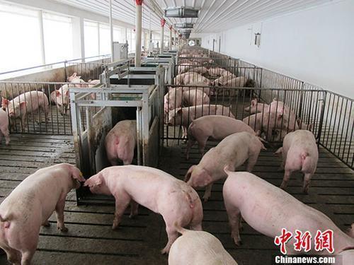 四川生猪生产止跌回升 在建养猪场预计新增产能560万头