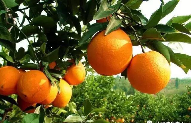 最全橙子品种产地大揭秘