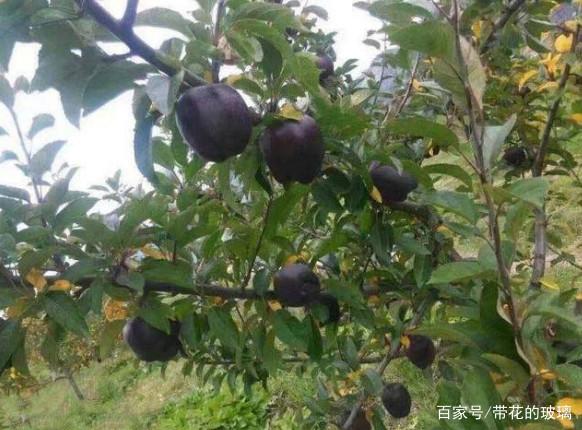 長出黑蘋果的水果盆栽,還是頭一次見到,拿出去