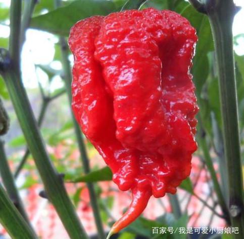 世界上最辣的辣椒,辣度达到普通辣椒的3百倍,