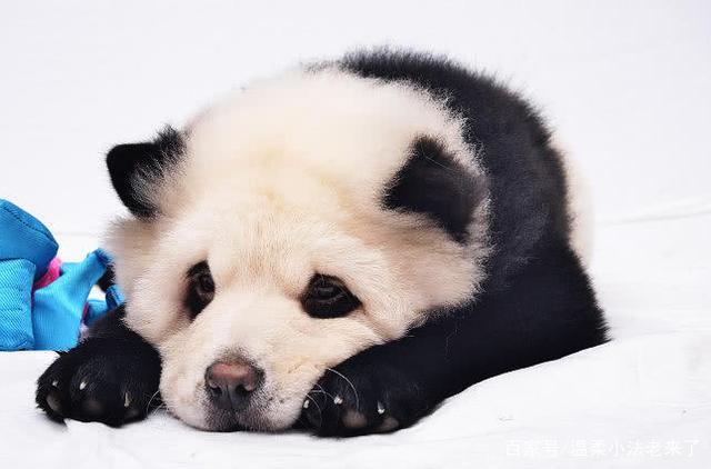 国外有人养大熊猫炫富,刚想报警,但仔细一看,整